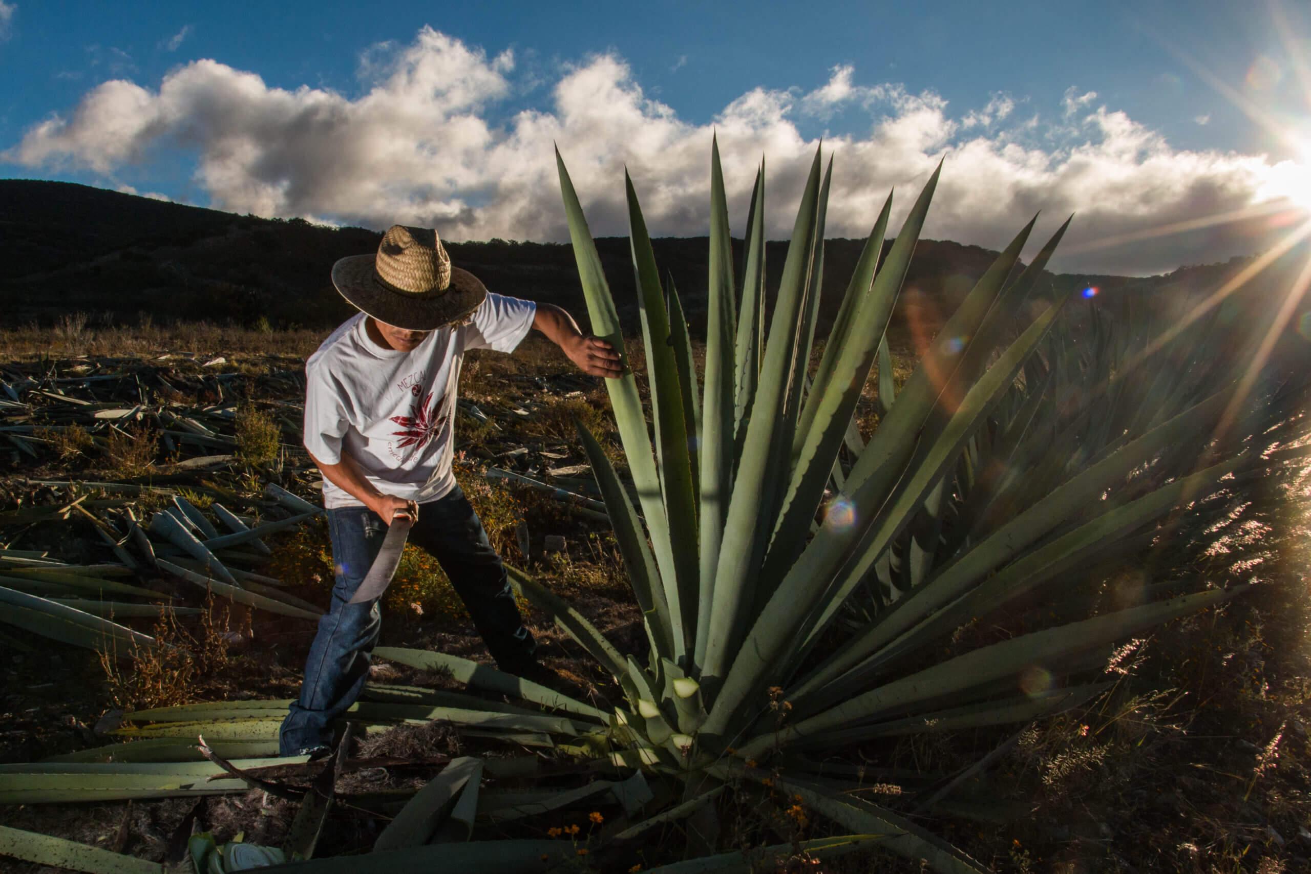 Agave-Mezcal-Agave-Mexico